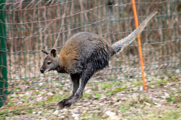 kokią varpą turi kengūra kiek vyrų turi erekcijos problemų