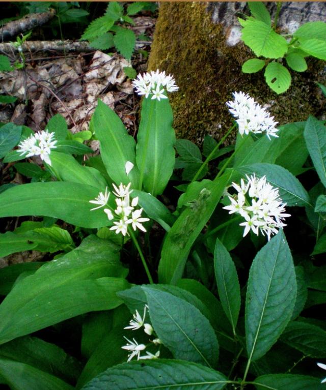 Meškinis česnakas - retas Lietuvos miškų augalas.